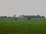 Vaches normandes, entre Villers-Ecalles et Duclair